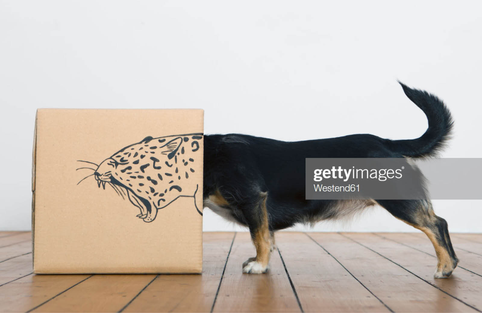 Roaring dog inside a cardboard box transforming and branding it to make it look like a leopard in the digital jungle